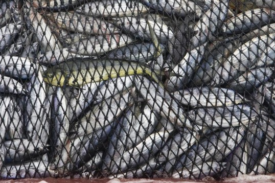 Fish on Purse Seiner in East Pacific Ocean